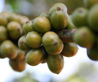 Green Coffee Test Erfahrung – Wie gut hilft Grüner Kaffee?